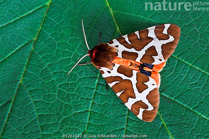 Garden tiger moth (Arctia caja) on leaf, Uplyme, Devon, England, July  ,  BROWN, EUROPE, GREEN, INSECTS, INVERTEBRATES, LEAVES, LEPIDOPTERA, MOTHS, NOCTUID-MOTHS, UK, WHITE,United Kingdom  ,  Guy Edwardes