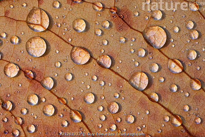 Close-up of dew on underside of Magnolia leaf, Uplyme, Devon, England, August  ,  ABSTRACT,ARTY SHOTS,CLOSE UPS,DEW,DICOTYLEDONS,Droplets,EUROPE,LEAVES,MAGNOLIACEAE,PLANTS,UK,veins,WATER, United Kingdom  ,  Guy Edwardes