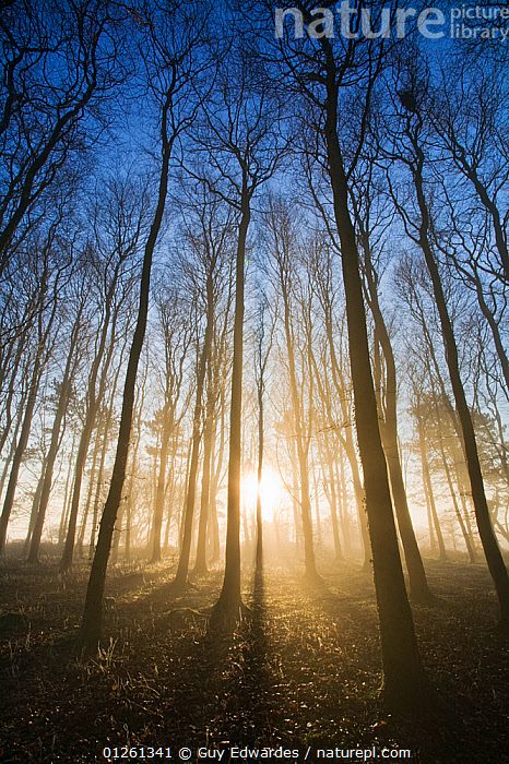 Beech (Fagus sylvatica) woodland in winter, Cranborne Chase, Dorset, England, December 2006  ,  DICOTYLEDONS,EUROPE,FAGACEAE,LANDSCAPES,LOW ANGLE SHOT,PLANTS,SILHOUETTES,TREES,UK,VERTICAL,WOODLANDS, United Kingdom  ,  Guy Edwardes