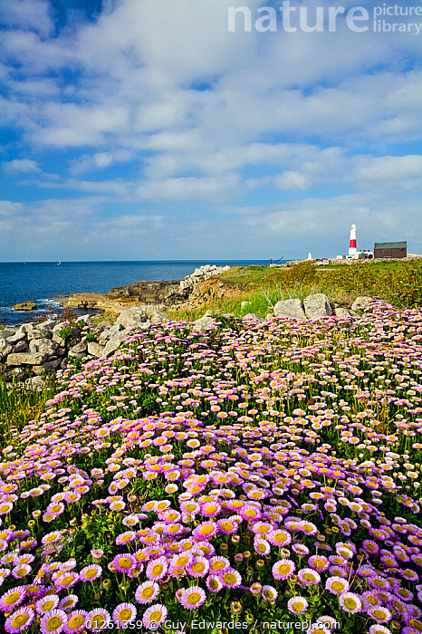 Flowering Fleabane (Erigeron glaucus) with Portland Bill Lighthouse in the distance, Isle of Portland, Dorset, England, June 2006  ,  ASTERACEAE,COASTS,DICOTYLEDONS,EUROPE,FLOWERS,GROUPS,LANDSCAPES,LIGHTHOUSES,PINK,PLANTS,UK,VERTICAL,ENGLAND,BUILDINGS , United Kingdom,core collection xtwox,,Dorset and East Devon Coast, UNESCO World Heritage Site,  ,  Guy Edwardes