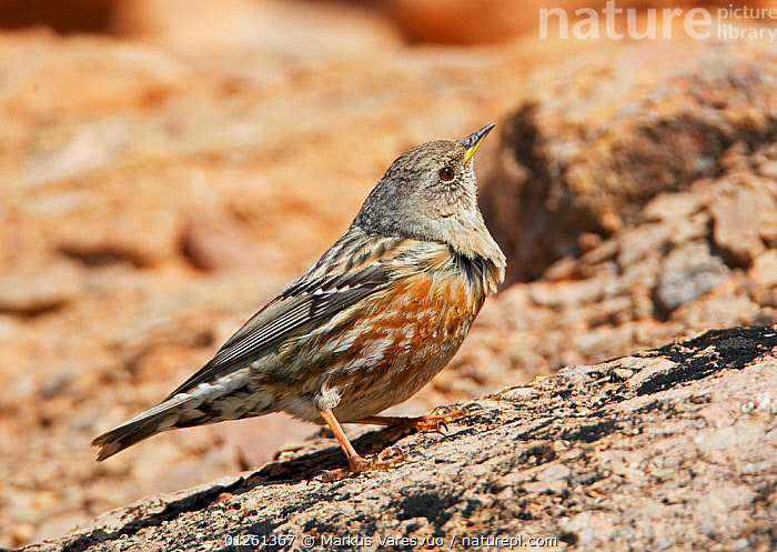 Alpine accentor (Prunella collaris) perched on ground, Spain, March  ,  ACCENTORS,BIRDS,CAMOUFLAGE,EUROPE,SPAIN,VERTEBRATES  ,  Markus Varesvuo