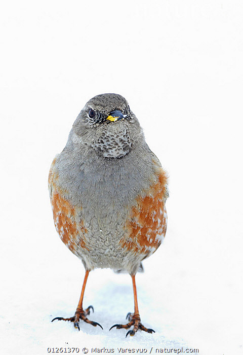 Alpine accentor (Prunella collaris) on snow, Spain, March  ,  ACCENTORS,BIRDS,CUTOUT,EUROPE,PORTRAITS,SNOW,SPAIN,VERTEBRATES,VERTICAL  ,  Markus Varesvuo