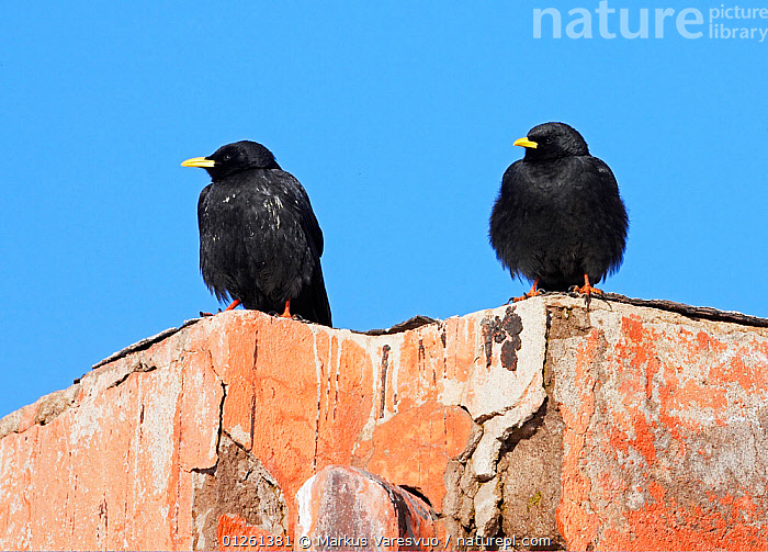Two Alpine choughs (Pyrrhocorax graculus) perched on roof, Morocco, February  ,  BIRDS,BUILDINGS,CHOUGHS,MOROCCO,NORTH AFRICA,TWO,VERTEBRATES  ,  Markus Varesvuo