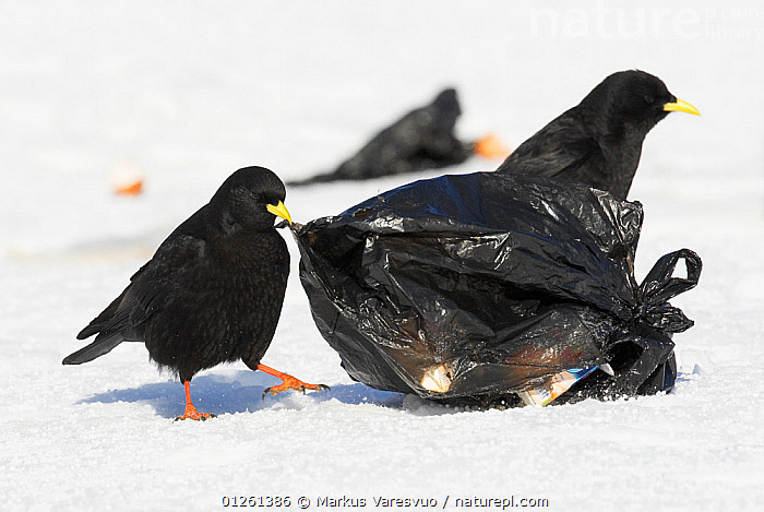 Alpine chough (Pyrrhocorax graculus) pecking at rubbish bag to feed, Morocco, February 2009  ,  BEHAVIOUR,BIRDS,CHOUGHS,ENVIRONMENTAL,FEEDING,MOROCCO,NORTH AFRICA,POLLUTION,REFUSE,SCAVENGING,SNOW,TWO,VERTEBRATES  ,  Markus Varesvuo