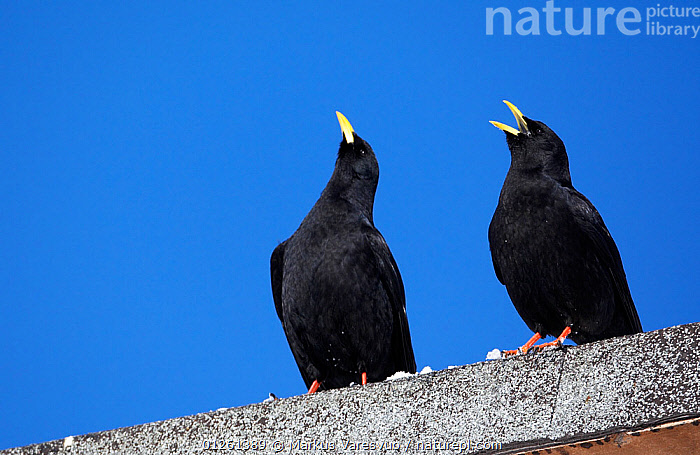 Alpine choughs (Pyrrhocorax graculus) perched on wall, displaying, one calling, Morocco, February  ,  BEHAVIOUR,BIRDS,CHOUGHS,LOW ANGLE SHOT,MOROCCO,NORTH AFRICA,TWO,VERTEBRATES,VOCALISATION  ,  Markus Varesvuo