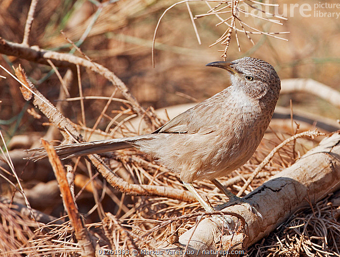 Arabian babbler (Turdoides squamiceps) perched on ground, Israel, May  ,  ARABIA,BABBLERS,BIRDS,CAMOUFLAGE,MIDDLE EAST,VERTEBRATES  ,  Markus Varesvuo