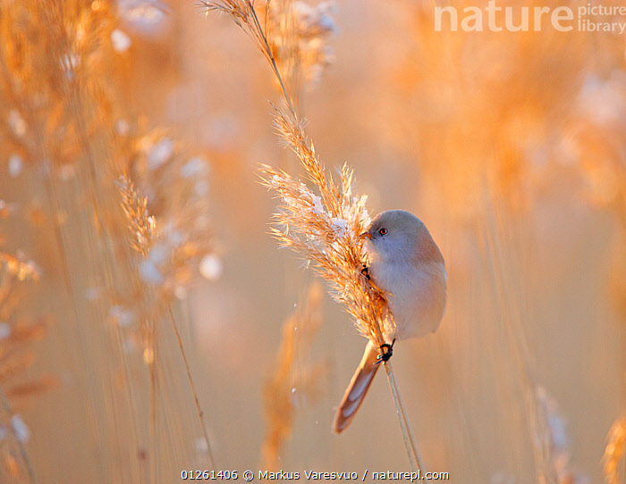 Bearded reedling / tit (Panurus biarmicus) female feeding in reeds, Espoo, Finland, March  ,  animal behaviour,animals in the wild,ATMOSPHERIC,backlit,BEHAVIOUR,BIRDS,CATALOGUE2F,close up,CLOSE UPS,CUTE,Espoo,EUROPE,FEEDING,female animal,FEMALES,Finland,innocence,Nobody,one animal,outdoors,PARROTBILLS,Perching,reeds,SCANDINAVIA,SEEDS,SPRING,sunlight,VERTEBRATES,WILDLIFE,  ,  Markus Varesvuo