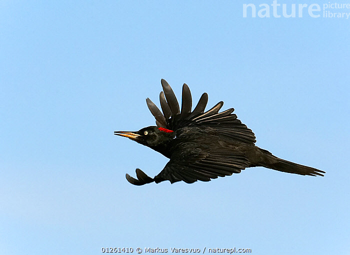 Black woodpecker (Dryocopus martius) female in flight, Hanko, Finland, September  ,  BIRDS,CUTOUT,EUROPE,FEMALES,FINLAND,FLYING,SCANDINAVIA,VERTEBRATES,WOODPECKERS, Europe  ,  Markus Varesvuo