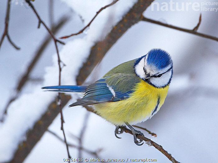 Blue tit (Parus caereleus) perched in snow, Kotka, Finland, January  ,  BIRDS,BLUE,EUROPE,FINLAND,SCANDINAVIA,SNOW,TITS,VERTEBRATES,WINTER, Europe  ,  Markus Varesvuo