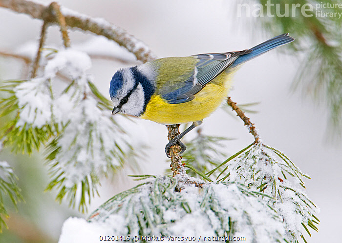 Blue tit (Parus caereleus) perched in snow, Anjalankoski, Finland, January  ,  BIRDS,EUROPE,FINLAND,SCANDINAVIA,TITS,VERTEBRATES,WINTER, Europe  ,  Markus Varesvuo