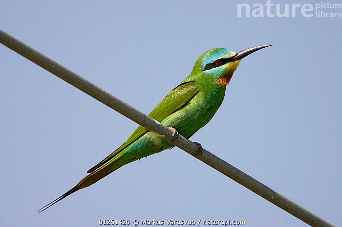 Blue-cheeked bee-eater (Merops persicus) perched on wire, Sultanate of Oman, March  ,  ARABIA, BEE-EATERS, BIRDS, GREEN, LOW-ANGLE-SHOT, MIDDLE-EAST, VERTEBRATES  ,  Markus Varesvuo