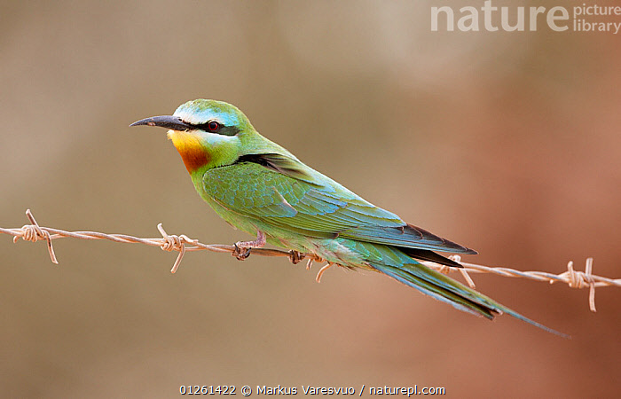 Blue-cheeked bee-eater (Merops persicus) perched on wire, Israel, May  ,  ARABIA, BEE-EATERS, BIRDS, MIDDLE-EAST, VERTEBRATES  ,  Markus Varesvuo