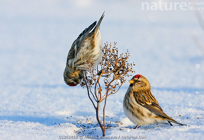 Two Common redpolls (Careduelis flammea) feeding, Liminka, Finland, February  ,  advice,animal behaviour,BEHAVIOUR,BIRDS,CATALOGUE2F,close up,CLOSE UPS,EUROPE,FEEDING,FINCHES,Finland,FRIENDSHIP,HUMOROUS,humour,Liminka,Nobody,outdoors,Perching,SCANDINAVIA,SNOW,two animals,upside down,VERTEBRATES,watching,WILDLIFE,WINTER,Concepts  ,  Markus Varesvuo