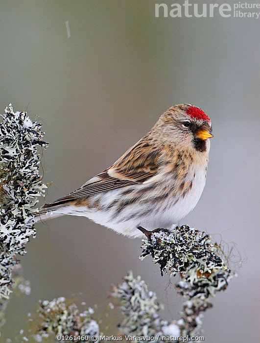 Common redpoll (Carduelis flammea) perched, Kuusamo, Finland, February  ,  BIRDS,EUROPE,FINCHES,FINLAND,LICHENS,SCANDINAVIA,VERTEBRATES,VERTICAL, Europe,Plants  ,  Markus Varesvuo