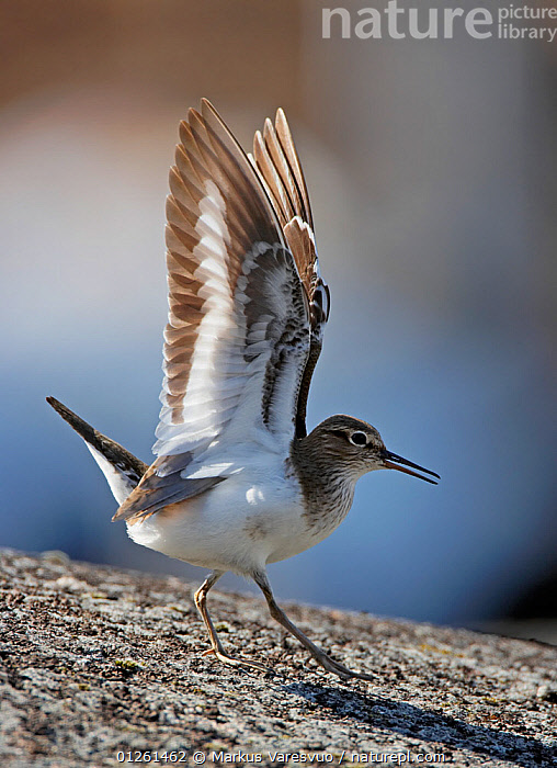 Common sandpiper (Actitis hypoleucos) with wings outstretched, Ristiina, Finland, May  ,  BEHAVIOUR,BIRDS,EUROPE,FINLAND,SANDPIPERS,SCANDINAVIA,VERTEBRATES,VERTICAL,WADERS,WINGS, Europe  ,  Markus Varesvuo