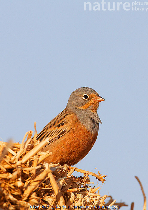 Male Cretzschmar's bunting (Emberiza caesia) on straw, Israel, March  ,  ASIA,BIRDS,BUNTINGS,ISRAEL,MALES,MIDDLE EAST,VERTEBRATES,VERTICAL  ,  Markus Varesvuo