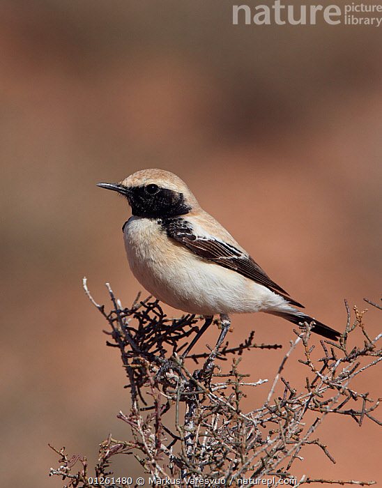 Desert wheatear (Oenanthe deserti) perched, Morocco, February  ,  BIRDS,MOROCCO,NORTH AFRICA,PORTRAITS,VERTEBRATES,VERTICAL,WHEATEARS,Chats  ,  Markus Varesvuo