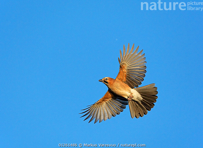 Eurasian jay (Garrulus glandarius) in flight, Hanko, Finland, November  ,  BIRDS,CUTOUT,EUROPE,FEATHERS,FINLAND,FLYING,JAYS,LOW ANGLE SHOT,SCANDINAVIA,VERTEBRATES,WINGS, Europe,Corvids  ,  Markus Varesvuo