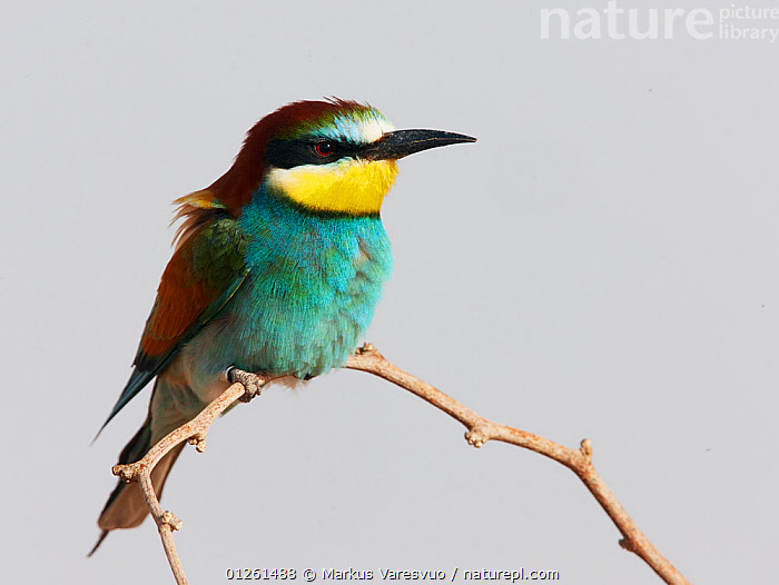 European bee eater (Merops apiaster) perched, Israel, May  ,  ASIA,BEE EATERS,BIRDS,CUTOUT,ISRAEL,MIDDLE EAST,PORTRAITS,VERTEBRATES  ,  Markus Varesvuo