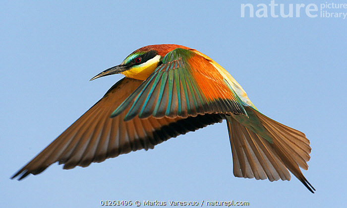 European bee eater (Merops apiaster) in flight, Israel, May  ,  ASIA,BEE EATERS,BIRDS,COLOURFUL,CUTOUT,FLYING,ISRAEL,MIDDLE EAST,VERTEBRATES  ,  Markus Varesvuo