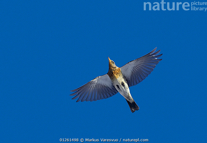 Fieldfare (Turdus pilaris) in flight, Helsinki, Finland, March, sky digitally modified  ,  BIRDS,CUTOUT,EUROPE,FINLAND,FLYING,LOW ANGLE SHOT,SCANDINAVIA,THRUSHES,VERTEBRATES, Europe  ,  Markus Varesvuo