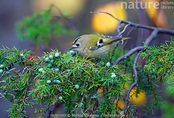 Goldcrest (Regulus regulus) perched amongst juniper berries, Espoo, Finland, February  ,  animals in the wild,berries,BIRDS,branch,BRANCHES,CATALOGUE2F,close up,CLOSE UPS,CUTE,EUROPE,Finland,GREEN,green colour,juniper tree,Nobody,one animal,outdoors,Perching,side view,VERTEBRATES,WARBLERS,WILDLIFE,WINTER,Scandinavia  ,  Markus Varesvuo