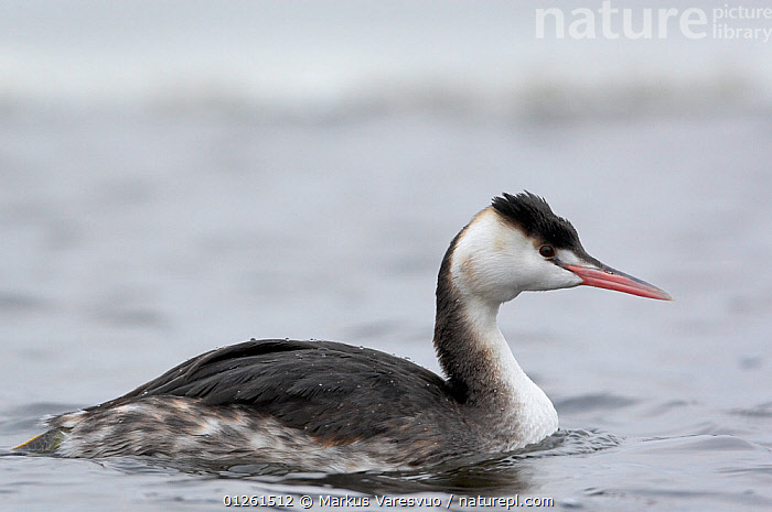 Great crested grebe (Podiceps cristatus) on water, winter plumage, Hamina, Finland, January  ,  BIRDS,EUROPE,FINLAND,GREBES,PORTRAITS,PROFILE,SCANDINAVIA,VERTEBRATES,WATER,WATERFOWL, Europe  ,  Markus Varesvuo