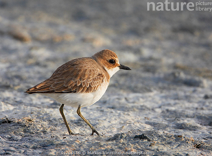 Great sand plover (Charadrius leschenaultii) Israel, March  ,  ASIA,BIRDS,ISRAEL,MIDDLE EAST,PLOVERS,VERTEBRATES,WADERS  ,  Markus Varesvuo