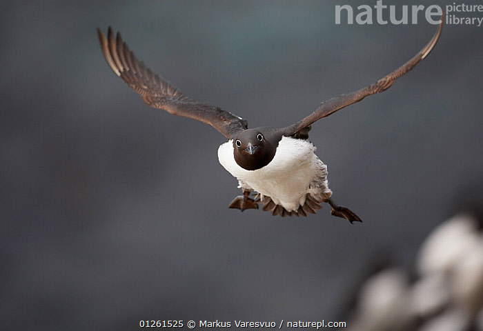 Guillemot (Uria aalge) in flight, Norway, July  ,  AUKS,BIRDS,EUROPE,FLYING,MURRE,NORWAY,SCANDINAVIA,SEABIRDS,VERTEBRATES, Scandinavia  ,  Markus Varesvuo