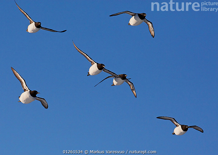 Guillemots (Uria aalge) in flight, Norway, July  ,  AUKS,BIRDS,EUROPE,FLYING,GROUPS,LOW ANGLE SHOT,MURRE,NORWAY,SCANDINAVIA,SEABIRDS,SIX,VERTEBRATES, Scandinavia  ,  Markus Varesvuo