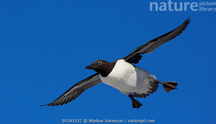 Guillemot (Uria aalge) in flight, Norway, July  ,  AUKS,BIRDS,CUTOUT,EUROPE,FLYING,MURRE,NORWAY,SCANDINAVIA,SEABIRDS,VERTEBRATES, Scandinavia  ,  Markus Varesvuo