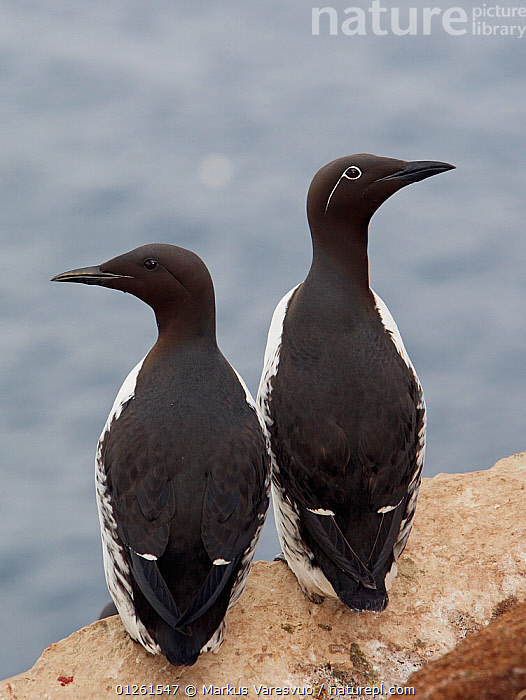 Rear view of two Guillemots (Uria aalge) on cliff top, Norway, July  ,  AUKS,BIRDS,CLIFFS,COASTS,EUROPE,MURRE,NORWAY,SCANDINAVIA,SEABIRDS,VERTEBRATES,VERTICAL,Geology, Scandinavia  ,  Markus Varesvuo