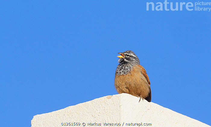 House Bunting (Emberiza sahari) male perched on roof, singing, Morocco, February  ,  BEHAVIOUR, BIRDS, BUNTINGS, MALES, morocco, NORTH-AFRICA, VERTEBRATES, VOCALISATION,Africa  ,  Markus Varesvuo