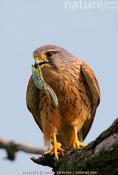 Kestrel (Falco tinnunculus) perched, feeding on lizard, Hungary, May  ,  BEHAVIOUR,BIRDS,BIRDS OF PREY,EUROPE,FALCONS,FEEDING,FLYING,LIZARDS,PREDATION,REPTILES,VERTEBRATES,VERTICAL  ,  Markus Varesvuo