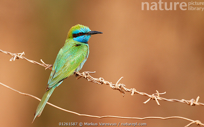 Little Green Bee-eater (Merops orientalis) perched on wire, Israel, May  ,  ARABIA,BEE EATERS,BIRDS,BLUE,GREEN,MIDDLE EAST,VERTEBRATES  ,  Markus Varesvuo