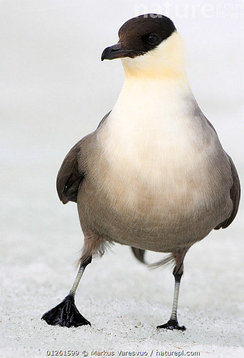Long-tailed Skua (Stercorarius longicaudus) portrait, June, Norway  ,  BIRDS,EUROPE,ICE,NORWAY,PORTRAITS,SCANDINAVIA,SEABIRDS,SKUAS,SNOW,VERTEBRATES,VERTICAL, Scandinavia  ,  Markus Varesvuo
