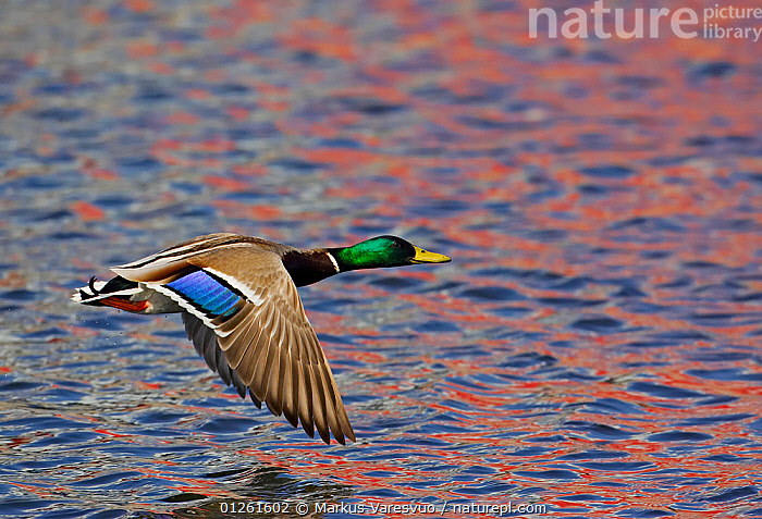 Mallard (Anas platyrhynchos) male, flying low over water, Helsinki, Finland  ,  animal marking,animals in the wild,BIRDS,bright colour,CATALOGUE2F,DAWN,direction,duck,DUCKS,EUROPE,Finland,FLYING,Helsinki,MALES,Nobody,on the move,one animal,outdoors,SCANDINAVIA,VERTEBRATES,WATER,WATERFOWL,WILDLIFE,wings spread  ,  Markus Varesvuo