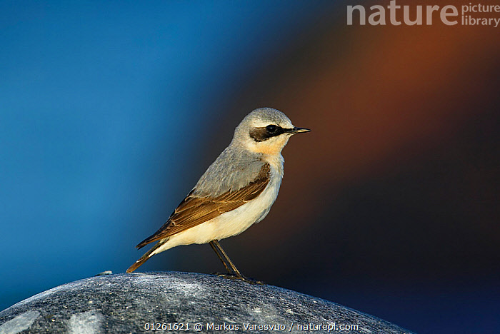 Northern Wheatear (Oenanthe oenanthe), male in Spring, Estonia, Europe  ,  BIRDS,ESTONIA,EUROPE,MALES,VERTEBRATES,WHEATEARS,Chats  ,  Markus Varesvuo