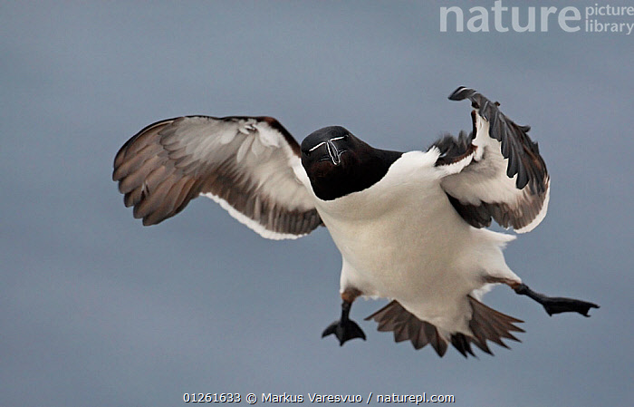 Razorbill (Alca torda) in flight, Spring, Norway  ,  AUKS,BIRDS,COMMICAL,CUTE,EUROPE,FLYING,NORWAY,SCANDINAVIA,SEABIRDS,VERTEBRATES,WIND, Scandinavia,Weather  ,  Markus Varesvuo