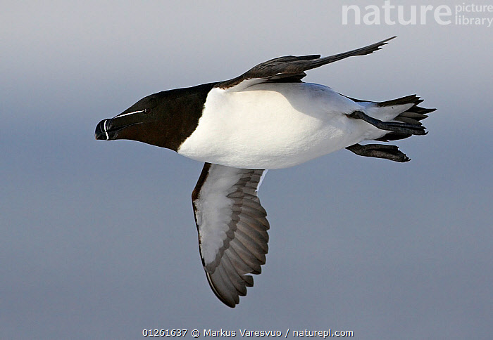 Razorbill (Alca torda) in flight, Spring, Norway  ,  AUKS,BIRDS,EUROPE,NORWAY,SCANDINAVIA,SEABIRDS,VERTEBRATES, Scandinavia  ,  Markus Varesvuo