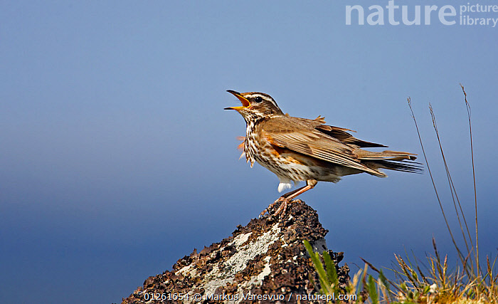 Redwing( Turdus iliacus) vocalising, Summer, Norway  ,  BEHAVIOUR,BIRDS,EUROPE,NORWAY,SCANDINAVIA,SINGING,THRUSHES,VERTEBRATES,VOCALISATION, Scandinavia  ,  Markus Varesvuo