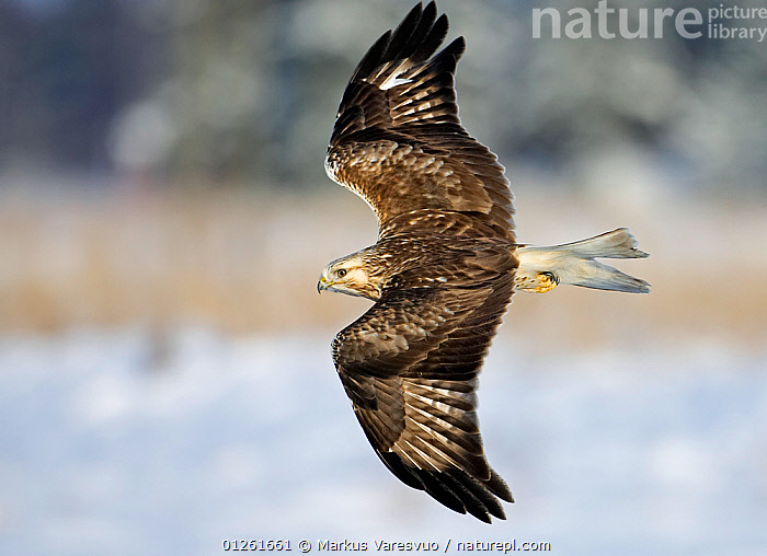 Rough-legged Buzard (Buteo lagopus)  flying over water, Porvoo Finland  ,  animals in the wild,BIRDS,BIRDS OF PREY,CATALOGUE2F,close up,CLOSE UPS,DETERMINATION,direction,EUROPE,Finland,FLYING,HAWKS,Nobody,on the move,one animal,outdoors,Porvoo,SCANDINAVIA,sings spread,VERTEBRATES,WATER,WILDLIFE,wingspan  ,  Markus Varesvuo