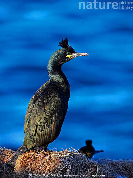 Shag (Phalacrocorax aristotelis) at nest site, Norway  ,  alert,animals in the wild,BIRDS,CATALOGUE2F,close up,CLOSE UPS,COASTS,CORMORANTS,EUROPE,full length,nest site,NESTS,NORWAY,outdoors,SCANDINAVIA,SEABIRDS,side view,STANDING,two animals,VERTEBRATES,VERTICAL,watchful,WATER,WILDLIFE  ,  Markus Varesvuo