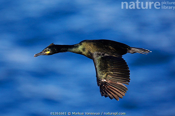 Shag (Phalacrocorax aristotelis) in flight, Norway July 2008  ,  BIRDS,CORMORANTS,EUROPE,FLYING,NORWAY,SCANDINAVIA,SEABIRDS,VERTEBRATES,WATER, Scandinavia  ,  Markus Varesvuo