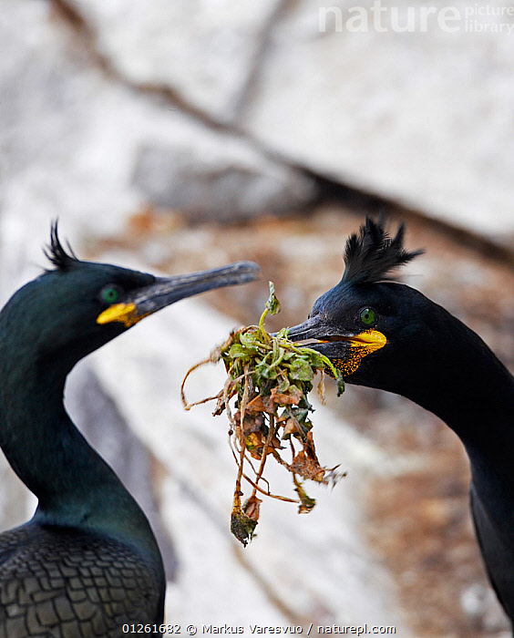 Shag (Phalacrocorax aristotelis) breeding pair with nesting material, Norway  ,  BEHAVIOUR,BIRDS,CORMORANTS,EUROPE,MALE FEMALE PAIR,NEST MATERIAL,NESTING,NESTING BEHAVIOUR,NORWAY,SCANDINAVIA,SEABIRDS,VERTEBRATES,VERTICAL, Scandinavia  ,  Markus Varesvuo