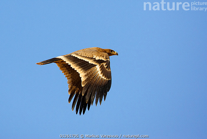 Steppe Eagle (Aquila nipalensis) in flight, Sultanate of Oman  ,  ARABIA,BIRDS,BIRDS OF PREY,EAGLES,FLYING,ISRAEL,MIDDLE EAST,OMAN,VERTEBRATES,Raptor  ,  Markus Varesvuo