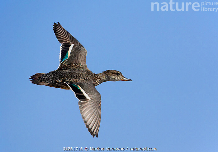 Common Teal (Anas crecca) in flight, Sultanate of Oman  ,  ARABIA,BIRDS,DUCKS,FLYING,MIDDLE EAST,OMAN,VERTEBRATES,WATERFOWL  ,  Markus Varesvuo