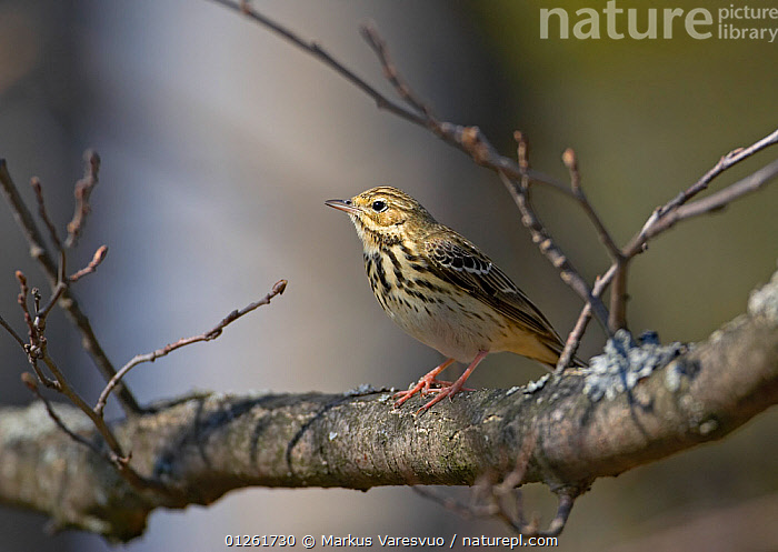 Tree Pipit (Anthus trivialis) perched  on branch, Helsinki Finland  ,  BIRDS,EUROPE,FINLAND,LICHENS,PIPITS,SCANDINAVIA,VERTEBRATES,WOODLANDS, Europe,Plants  ,  Markus Varesvuo