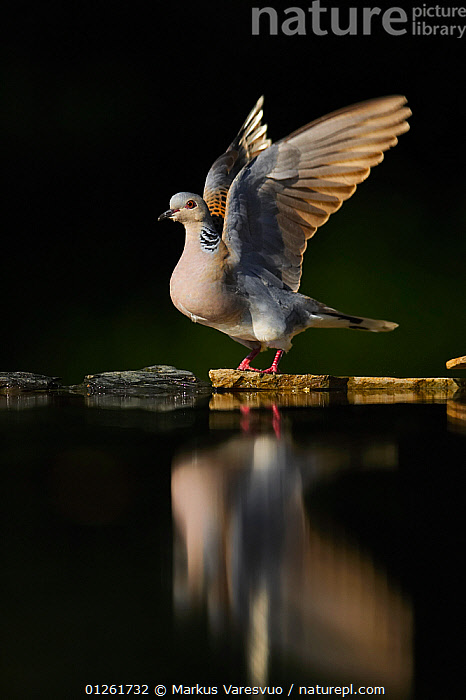 Turtle Dove (Streptopelia turtur) take off, Hungary  ,  animals in the wild,BIRDS,CATALOGUE2F,close up,CLOSE UPS,COLUMBIFORMES,departure,DOVES,FEATHERS,full length,HUNGARY,Nobody,one animal,outdoors,preparation,reflection,STANDING,take off,TAKE OFF,VERTEBRATES,VERTICAL,WATER,WILDLIFE,wings spread,Europe  ,  Markus Varesvuo