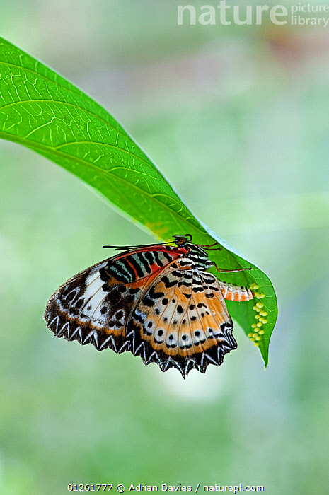 Malay lacewing butterfly {Cethosia hypsea hypsina} female laying eggs on leaf, captive  ,  BEHAVIOUR,BUTTERFLIES,EGGS,FEMALES,INSECTS,INVERTEBRATES,LEPIDOPTERA,REPRODUCTION,TROPICAL,VERTICAL  ,  Adrian Davies